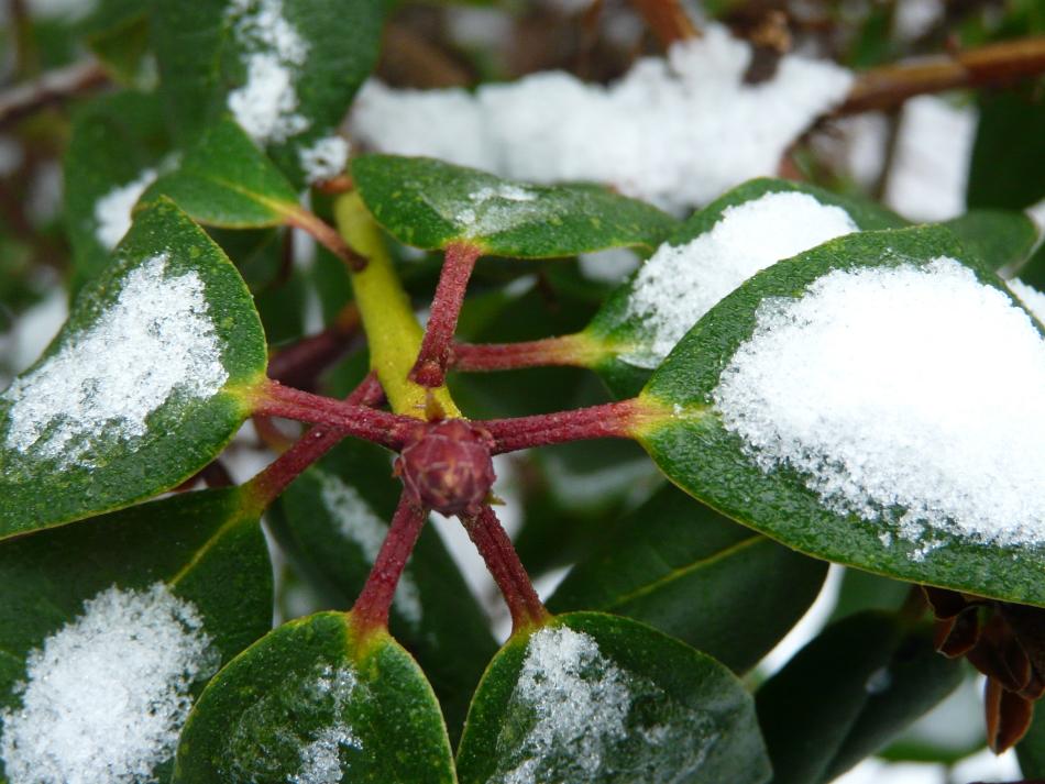 Rhododendron mit Schnee
