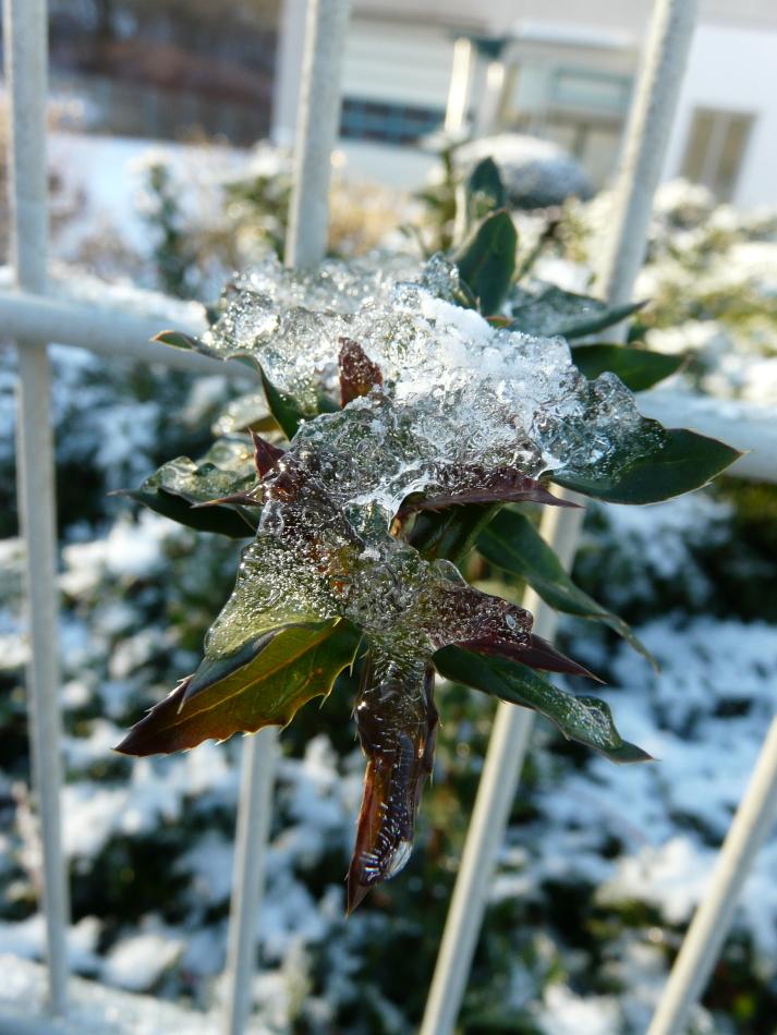 grün-rote Blätter mit Eis