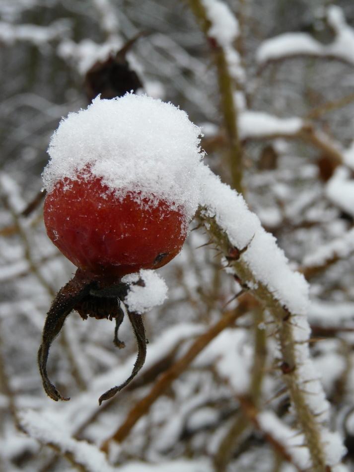 Hagebutte mit Schnee 1