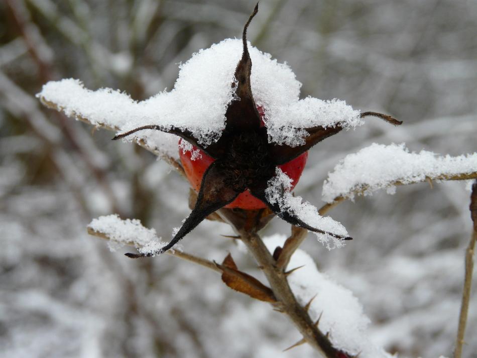 Hagebutte mit Schnee 2