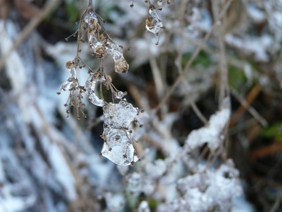 Samen eingeschlossen in Eis