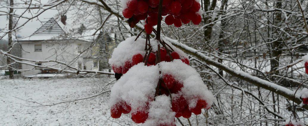 rote Früchte unter der Schneehaube 2