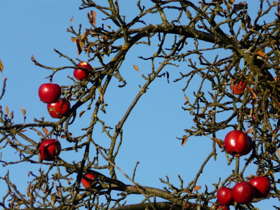 Äpfel rot im Winter