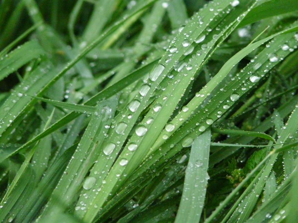 Regentropfen an vielen Grashalmen