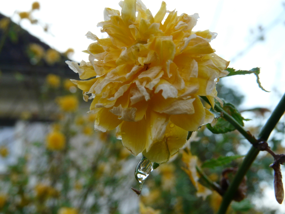 Wassertropfen an gelber Blüte