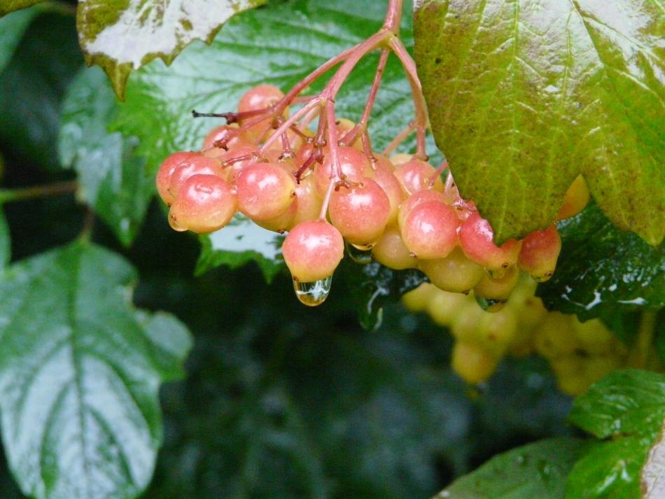 Wassertropfen an rot-gelber Frucht