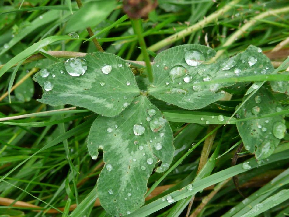 Wassertropfen auf Kleeblatt
