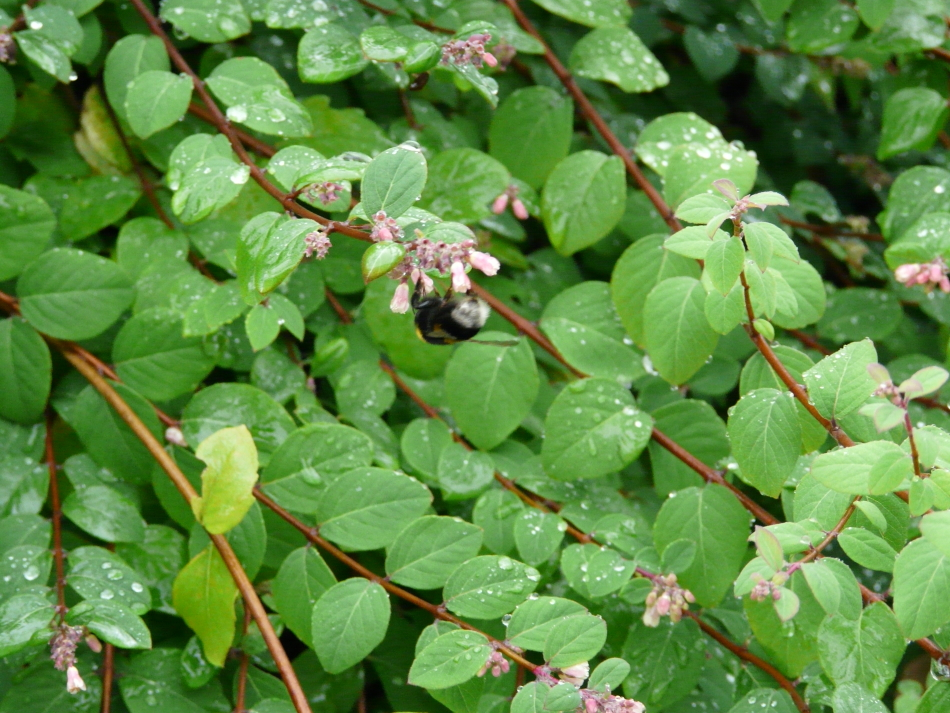 Wespe larbt sich am Wassertropfen