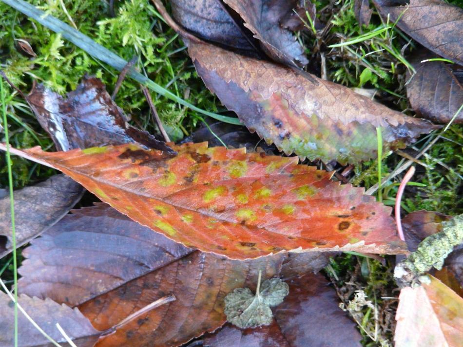 Herbstblatt grün gesprenkelt