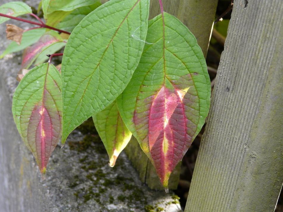 Herbstblatt in diversen Farben