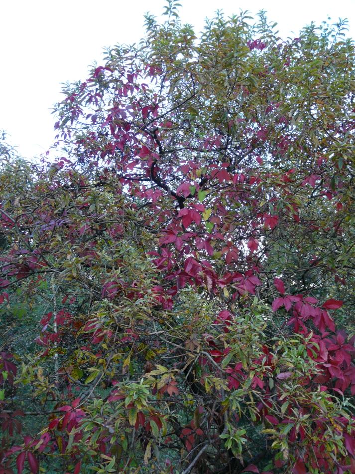 Weinblätter im Herbst zwischen grünem