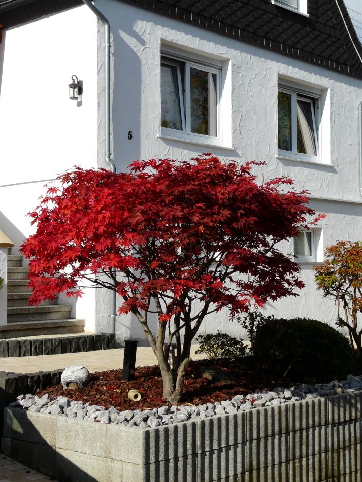 Zwergbaum im Herbst