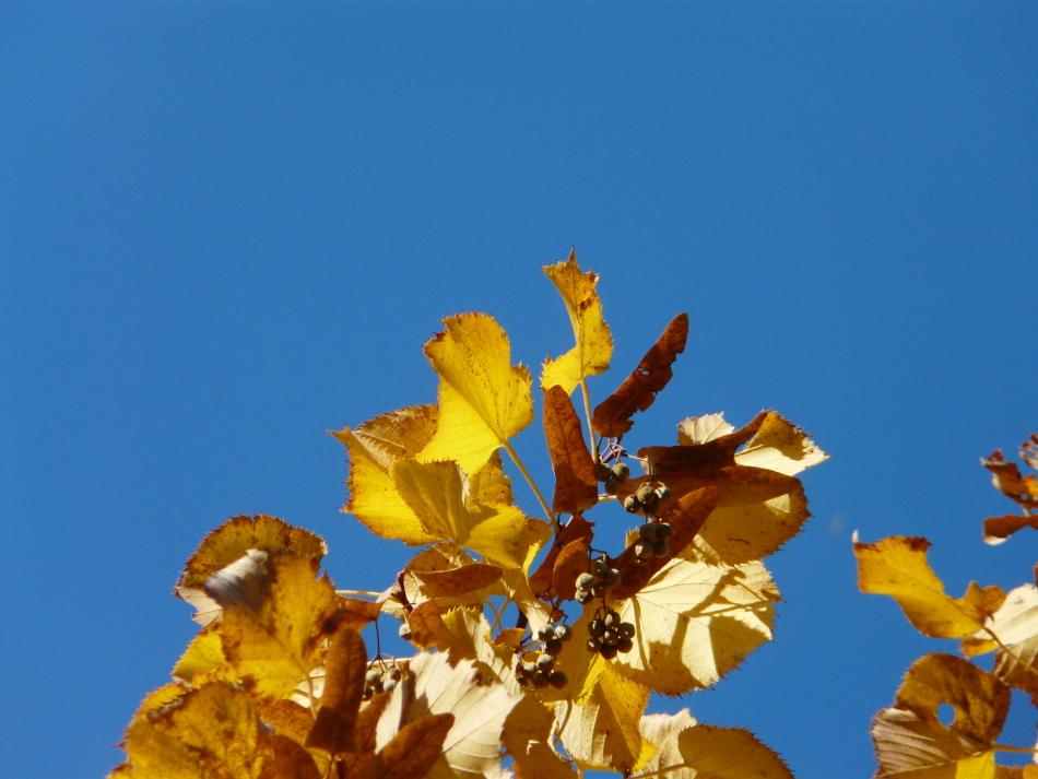 leuchtende gelbe Blätter