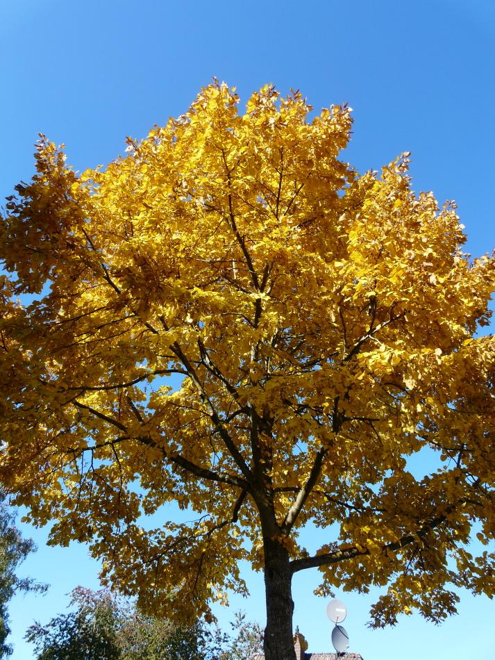 leuchtende gelbe Farben am Baum