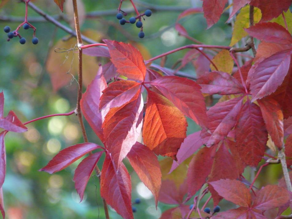 leuchtende rote Blätter