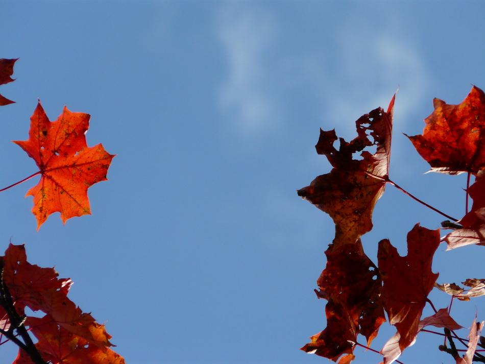 rot-braune Ahornblätter