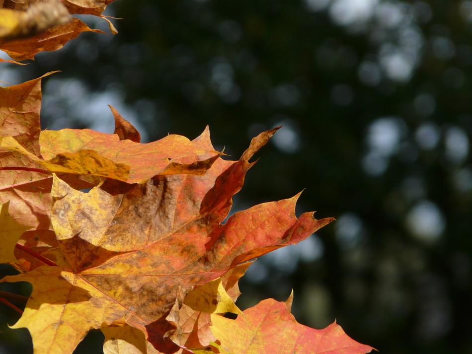 rot-gelbe Ahornblätter