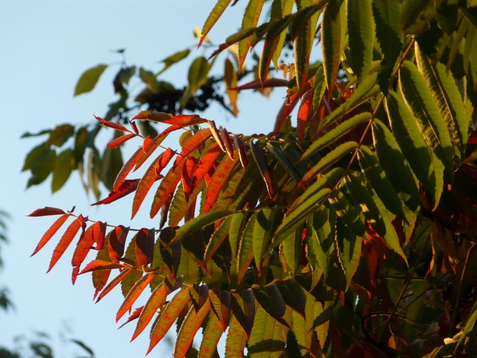 rot-grüne Blätter im Sonnenlicht