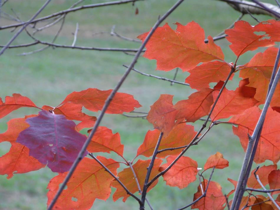 rote Eichenblätter