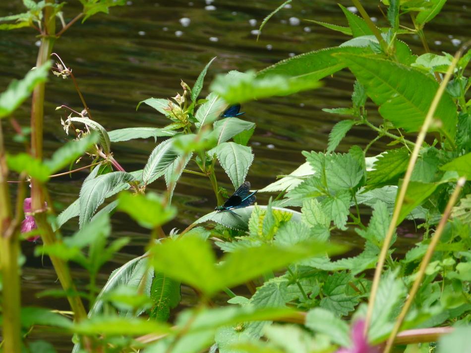 Kleinlibelle, Siegerland