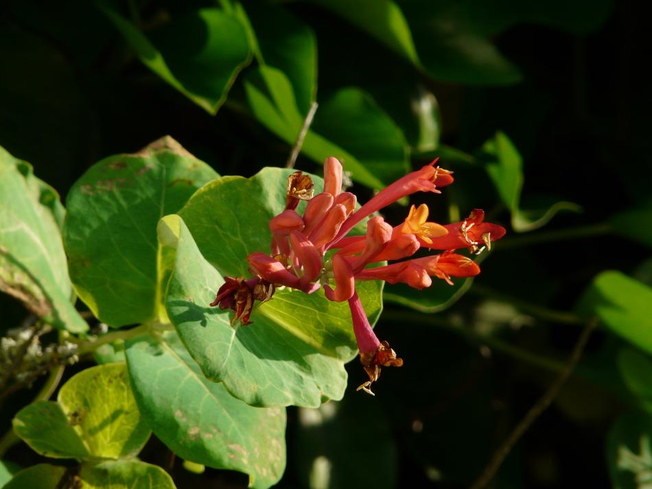 Strauch mit roten Blüten